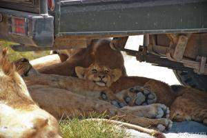Lion cubs resting in the shade
