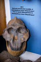 Reconstructed skull discovered in Oldupai Gorge
