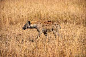 Hyena checking out the Thomsons Gazelle