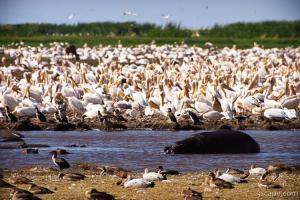 A huge mass of pelicans and a lone hippo
