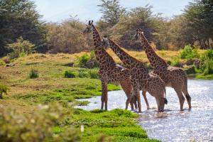 Giraffes crossing the river