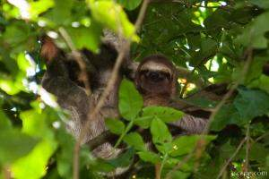 Sloth hanging out and smiling in the trees