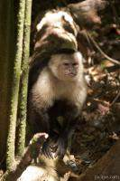 Angry white faced monkey