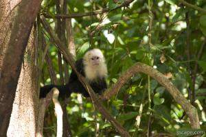 Baby white faced monkey