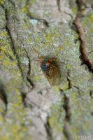 The young cicada starts climbing up a tree