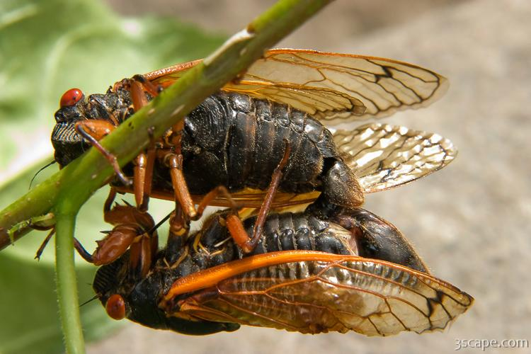 A pair of cicadas mating