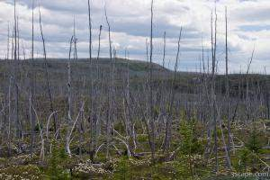 Forest of dead (burned) trees