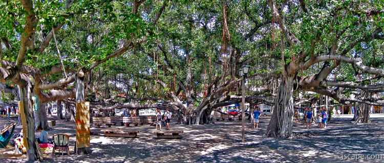 Huge intertwined Banyan tree in Lahaina Photograph - Fine Art Prints