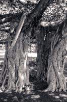 Huge intertwined Banyan tree in Lahaina