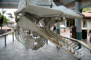 Skeleton of Sperm whale