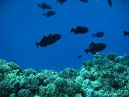 Some dark Triggerfish above the hard corals