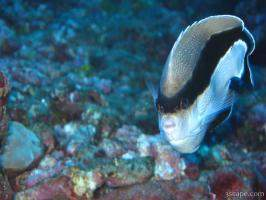 Banded Angel Fish (endemic to Hawaii)
