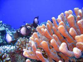 Bright finger coral and some White-spotted Damsel fish