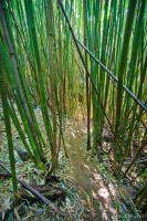 Thick bamboo forest