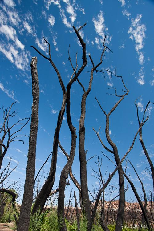 Burned trees near Dewey Bridge