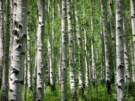 Aspen forest in the La Sal mountains
