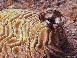Brain and Feather Duster coral