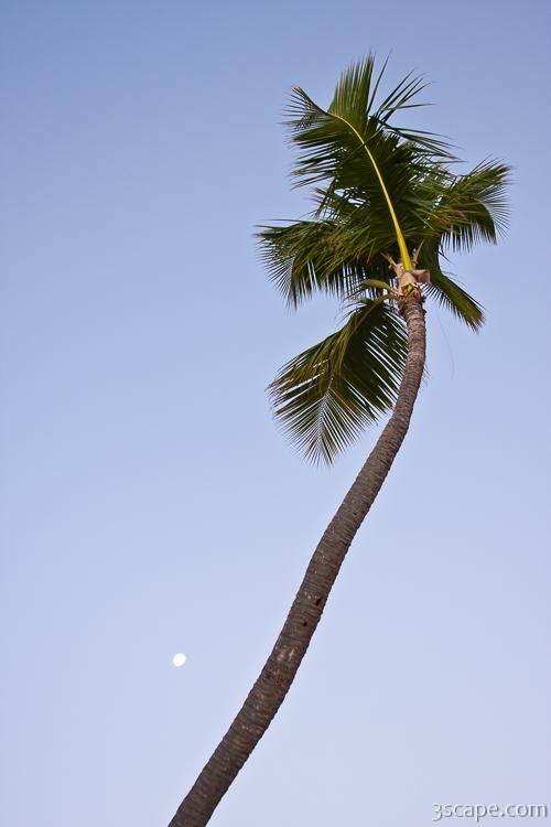 Palm tree and the setting moon