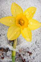 Daffodil in Spring Snow