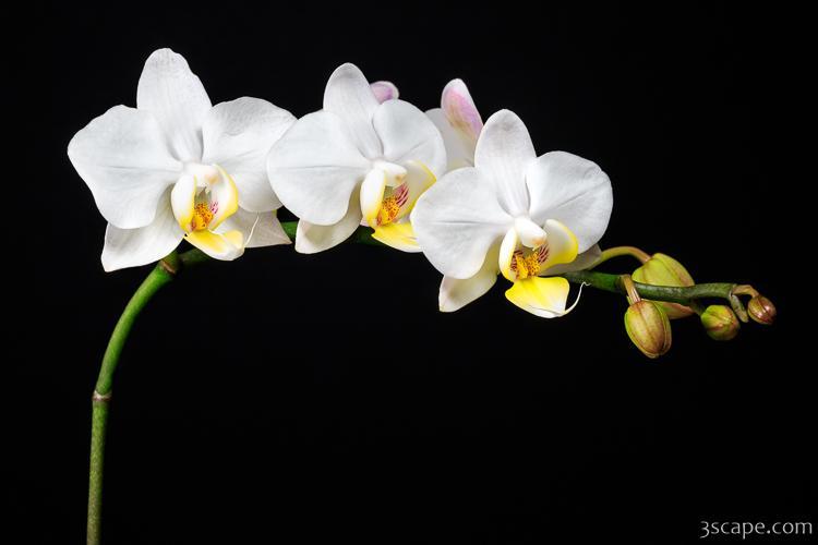 White Orchids Photograph Landscape Amp Travel Photography