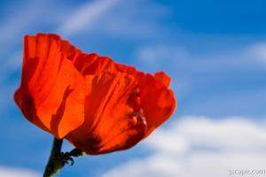 Bright red poppy against blue sky