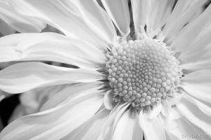 Black & White Daisy