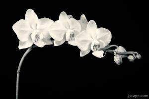 White Orchids Black & White
