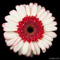 White and Red Gerbera Daisy