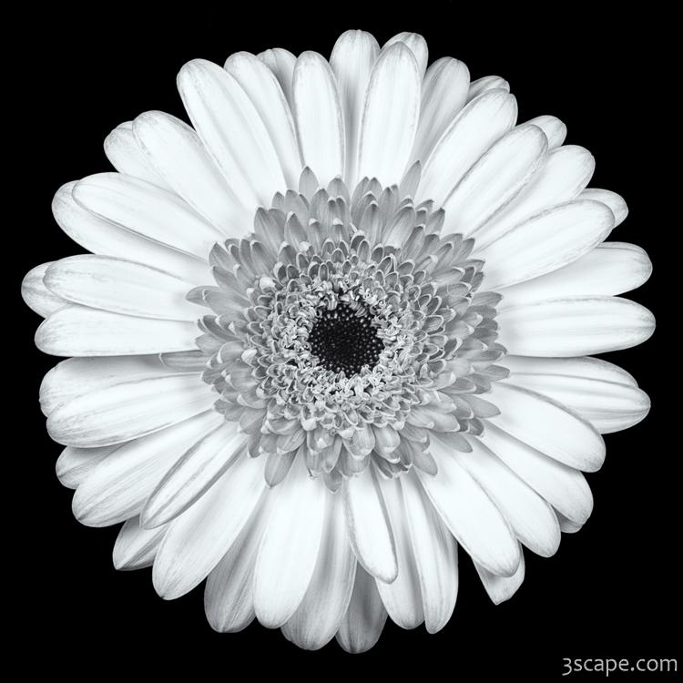 Gerbera Daisy Black & White Photograph - Travel ...