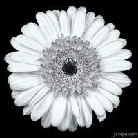 Gerbera Daisy Black & White