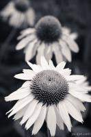 White Echinacea Flower or Coneflower