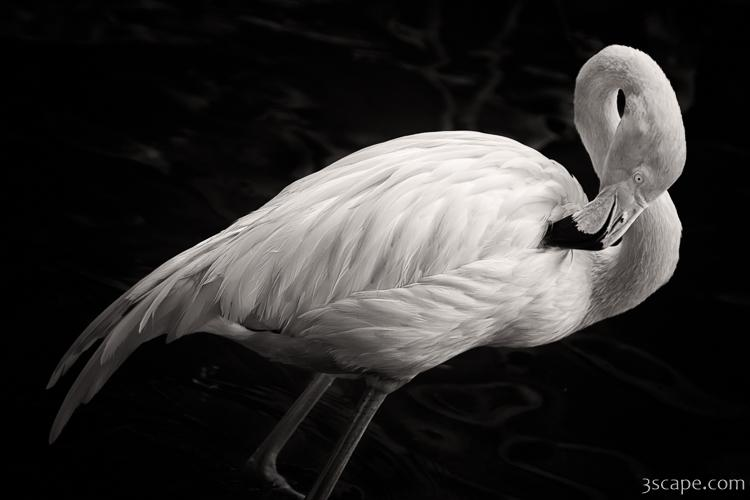 Exotic Birds For Sale >> Black and White Flamingo Photograph - Landscape & Travel Photography for Sale by Adam Romanowicz