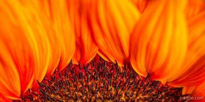 Gerbera on Fire