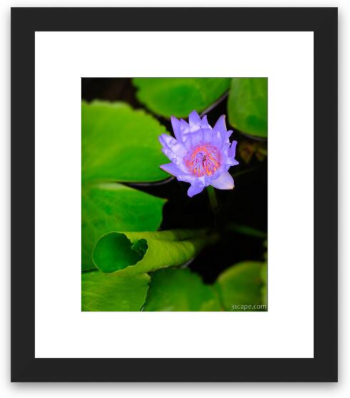 Lotus Flower And Lily Pad Framed Print Landscape Travel