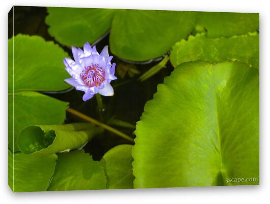 Lotus Flower And Lily Pad Canvas Print Landscape Travel